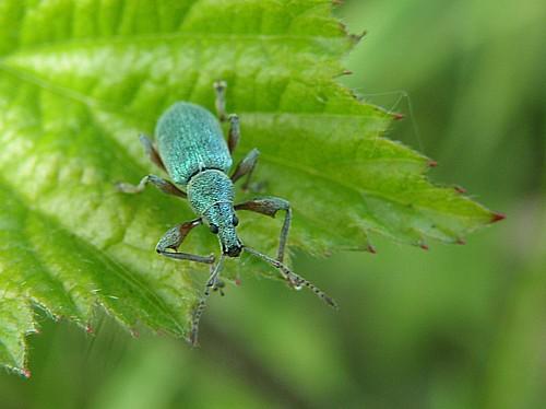 http://www.natuurfragmenten.nl/images/blauwe%20snuitkever.jpg