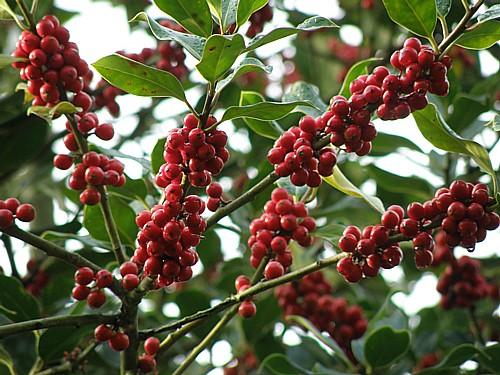 plant met rode bessen