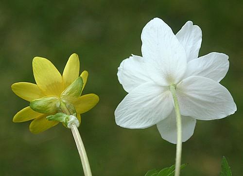 Op deze foto staan bloemetjes van speenkruid en bosanemoon er is een