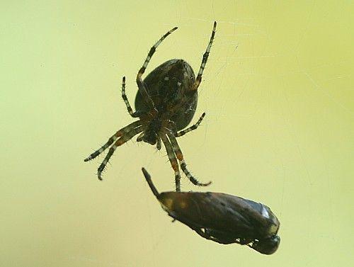 zijn spinnen insecten
