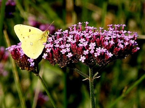 combinatie struiken en vlinders